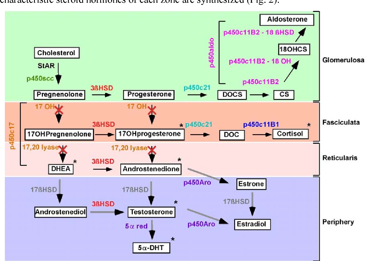 The Mouse Adrenal Gland Age And Gender Dependent Alterations Of