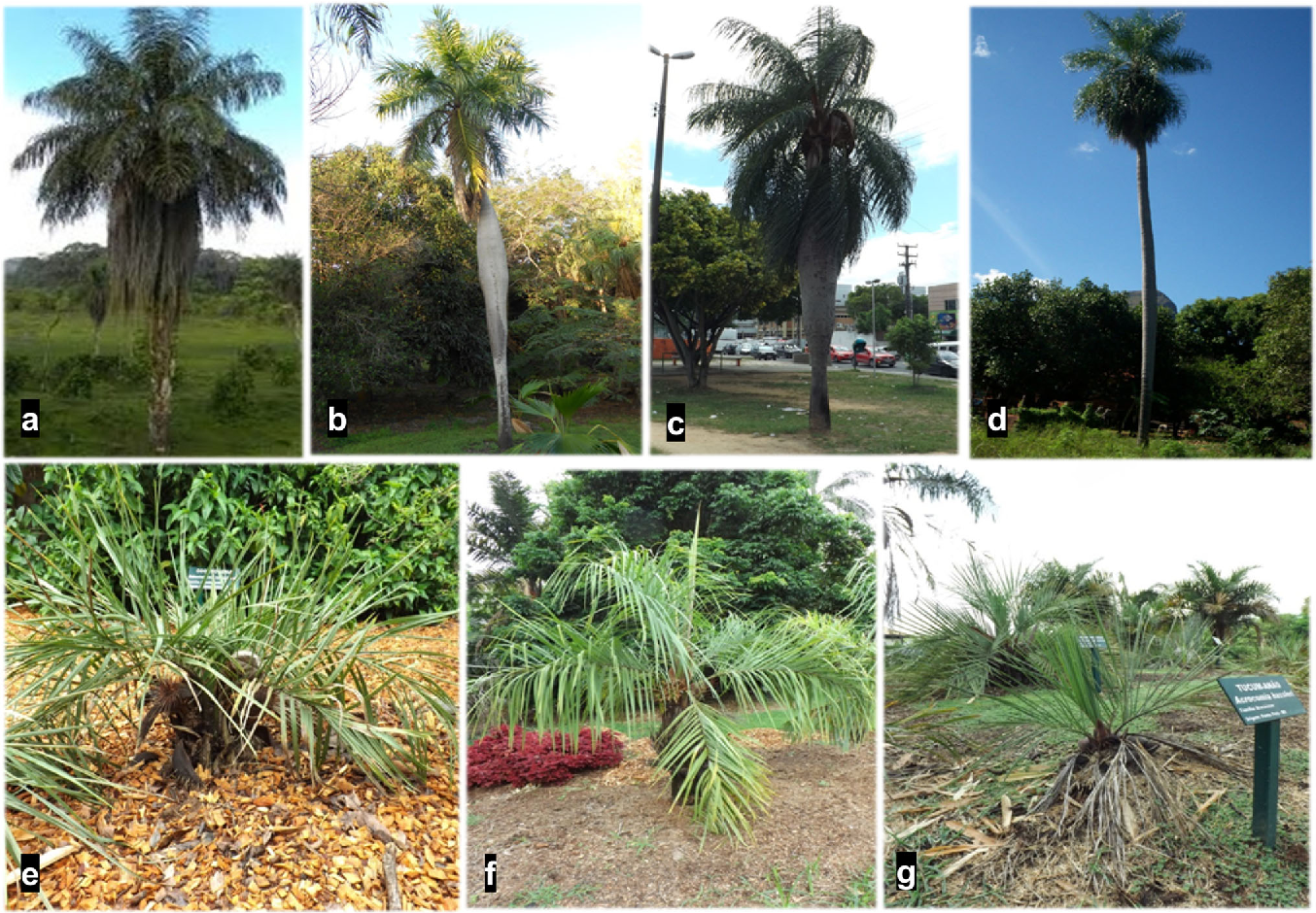 Figure 1 from Leaf anatomy of Acrocomia (Arecaceae): an additional ...