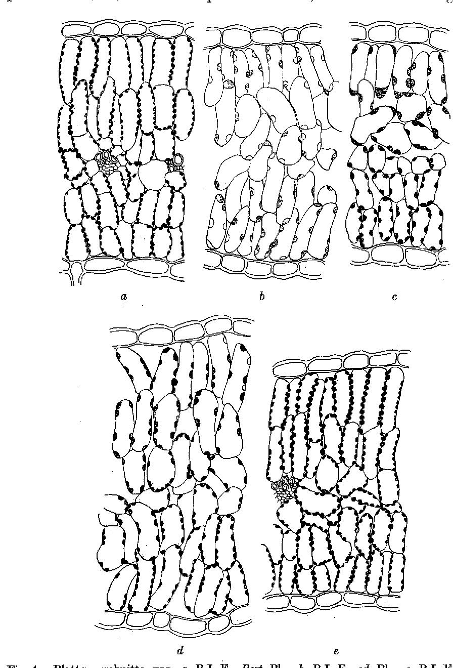 Fig. 4. Blattquerschnitte yon a B.I Fx Bert.,Pl., b B.I F 1 od.-Pl., c B.I F 1 od.-P1. (EinfluB des Lichtes!), d B.I F t od.-P1. (in der N~he eines Nerven), e B.I F s od..P1.