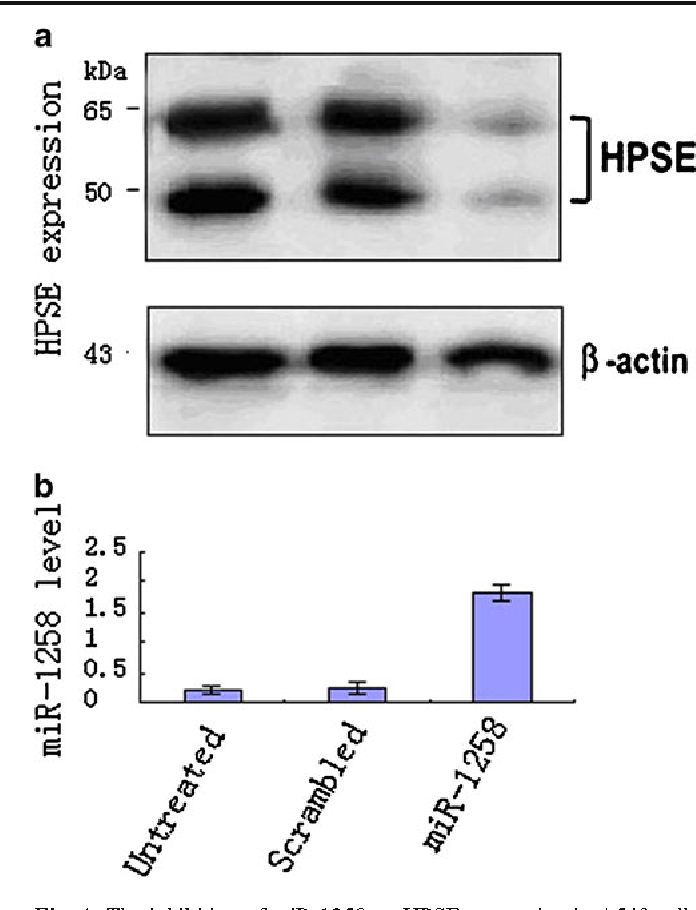 Fig. 4 The inhibition of miR-1258 on HPSE expression in A549 cell. a Untreated group, b scrambled group, c miR-1258 group. The expression level of HPSE in untreated and scrambled groups was higher, whereas in miR-1258, it was lower when transfection with lentivirus was performed. Accordingly, the expression level of miR-1258 in miR1258 group after transfection was much higher than the other two groups