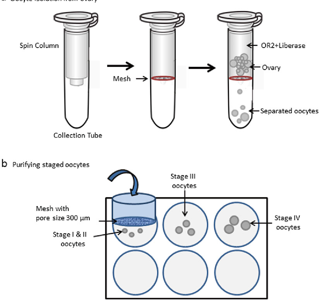 Oocytes offer to freeze
