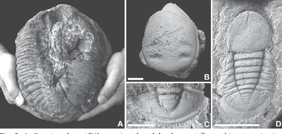 PDF] Yacimientos excepcionales de trilobites del Ordovícico