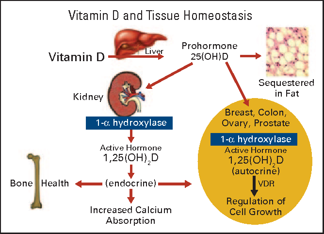 Ure 1 From How I Treat Vitamin D Deficiency Semantic Scholar. Ure 1 Schematic Of Vitamin D Metabolism And Actions Related To Tissue Homeostasis Vdr. Wiring. Homeostasis Diagram Of Vit D At Scoala.co
