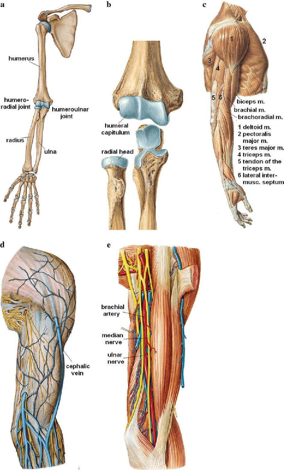 Atemberaubend Muskelmann Anatomie Zeitgenössisch - Anatomie Ideen ...