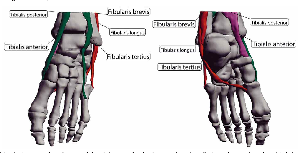 Virtual Movement of the Ankle and Subtalar Joints Using Cadaver ...