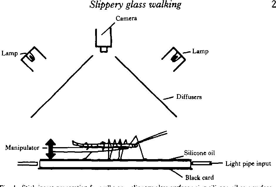 Behaviour And Motor Output Of Stick Insects Walking On A Slippery
