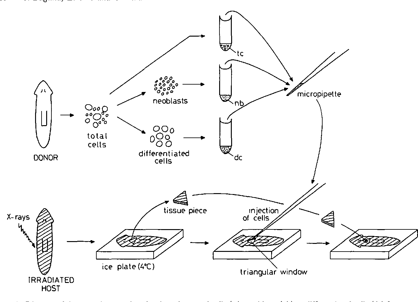 Figure 2 from regeneration and pattern formation in planarians iii figure 2 ccuart Images