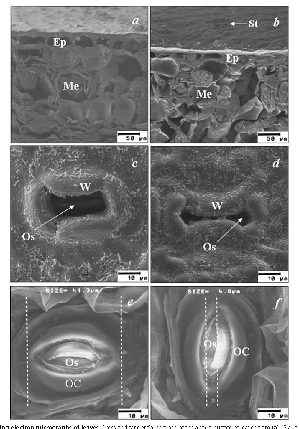 Relationships between leaf anatomy, morphology, and water use ...