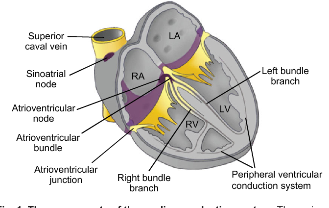 Figure 1 from the formation and function of the cardiac conduction the components of the cardiac conduction system the various components of ccuart Choice Image