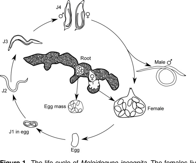 Associated Bacteria Of Different Life Stages Of Meloidogyne