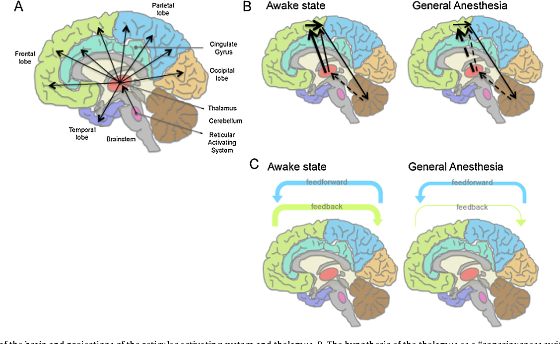 Figure 3 From Cerebral Mechanisms Of General Anesthesia