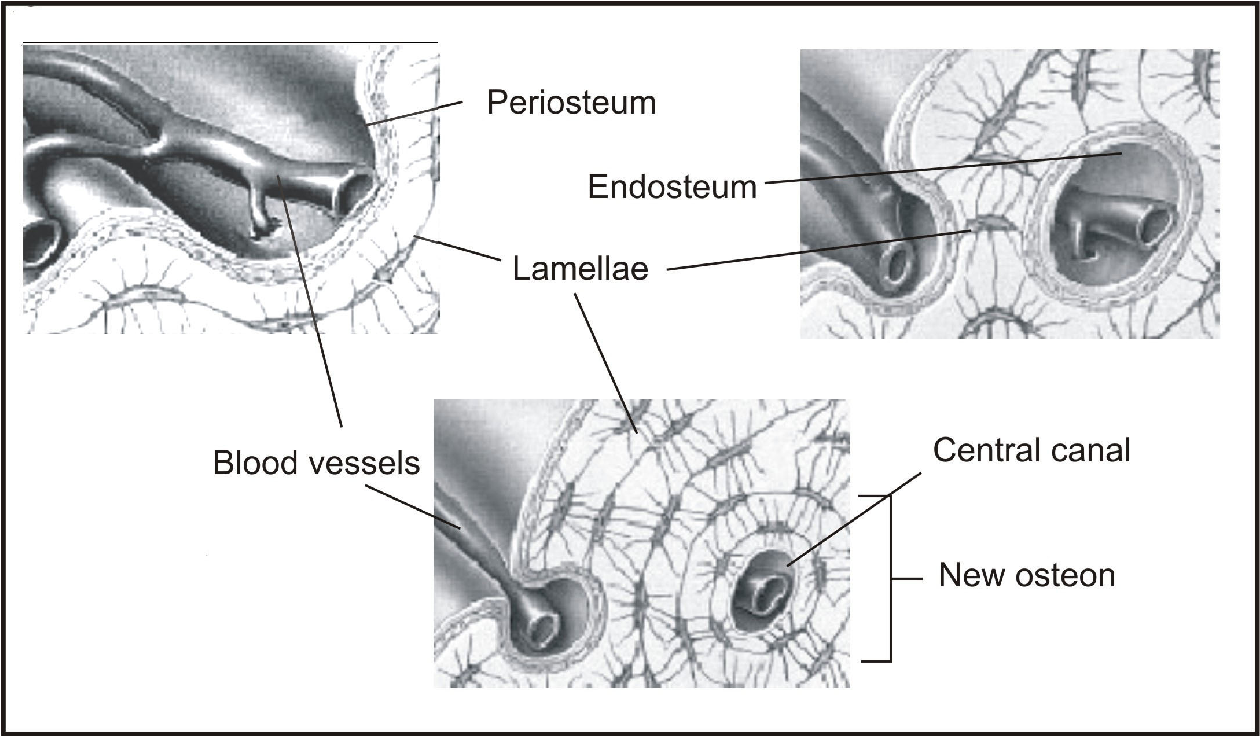 Figure 11 From The Periosteum Part 1 Anatomy Histology And