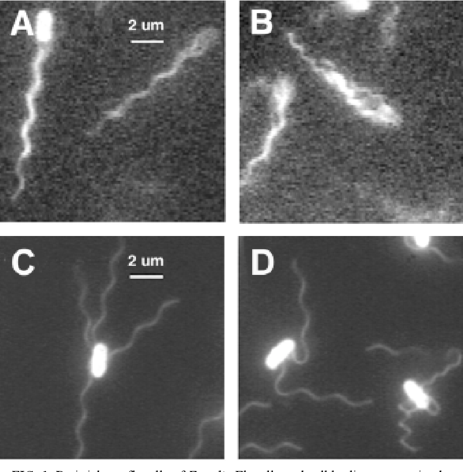 FIG. 1 Peritrichous flagella of E. coli. Flagella and cell bodies were stained with fluorescent dye and and the cells photographed swimming (A-B) and adhered (C-D). Propulsive bundles formed by CCW flagellar rotation can be seen in swimming cells (A-B). Peritrichious flagellation pattern and alternate waveforms induced by CW rotation can be seen in adhered cells (C-D). Images from Turner, Ryu, and Berg (112)