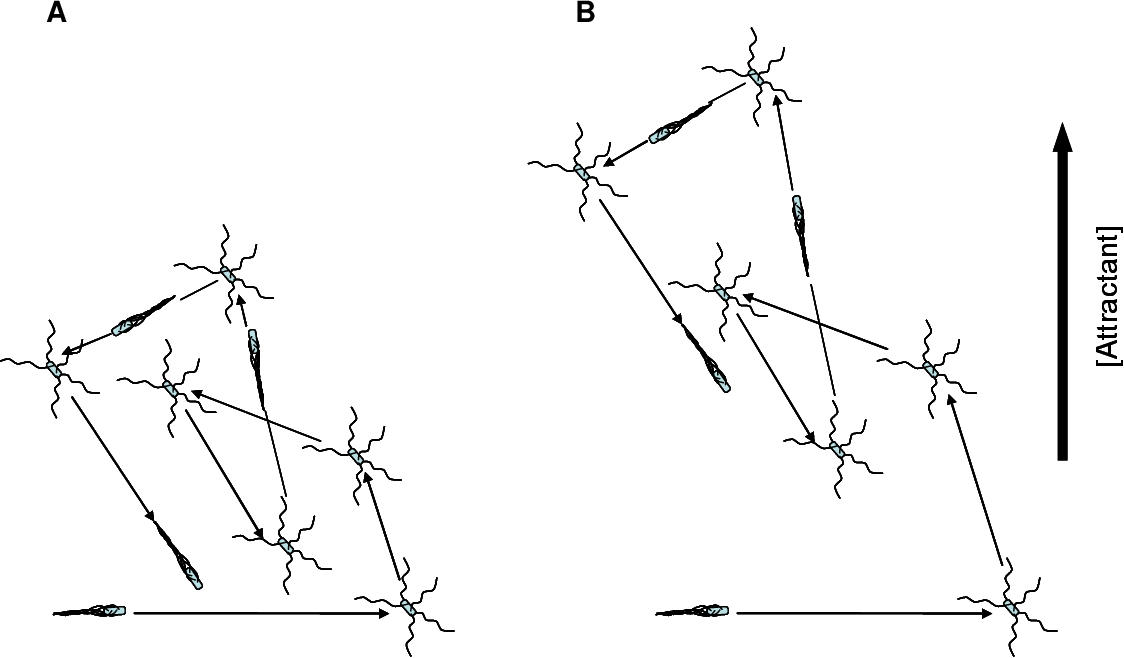 """FIG. 2. Chemotaxis in E. coli occurs by a biased random walk. Cells alternate periods of smooth swimming (""""runs"""") with short periods of random movement that reorient the cell (""""tumbles""""). In the absence of chemoaffector (A), net movement is minimal. In the presence of a gradient of chemoaffector (B), tumbles are suppressed when the cell moves in a favorable direction, biasing the random walk and creating a net movement toward an attractant or away from a repellent."""