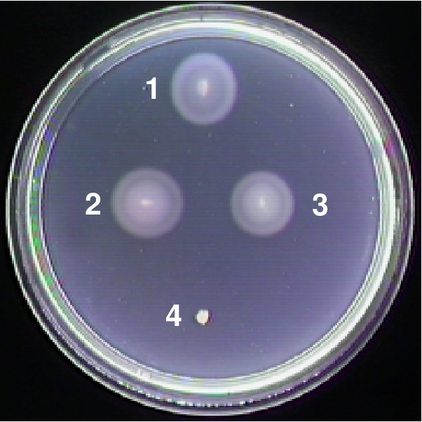 FIG. 6. CheZ-GFP restores chemotaxis to ∆cheZ cells. Cells were inoculated into soft-agar motility plates containing 100 µM aspartate and 0.002% arabinose and incubated at 30º C. RP437 (1) is wild type, while RP1616 (4) has a cheZ deletion and does not support chemotaxis, but arabinose induced expression of CheZ from plasmid pBJC100 (3) restores chemotaxis. Arabinose-induced expression of CheZGFP from plasmid pBJC101 (2) restores chemotaxis as effectively as CheZ.