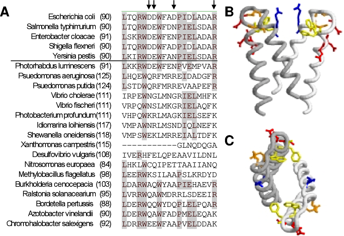 FIG. 15. Charged residues near site of non-localizing CheZ mutations are conserved. (A) Alignment of CheZ sequences showing the region around the site of non-localizing mutations of E. coli CheZ. Sequences above the line are enteric species. Arrows indicate charged residues substituted with Ala. (B-C) Structure of CheZ localization domain showing positions of mutated Asp (red) and Arg (blue) residues. Try-97 and Phe-98 are shown in yellow. Additional conserved Asp residues (positions 103 and 106 of E. coli CheZ) are shown in orange. (C) Top down view of same region.