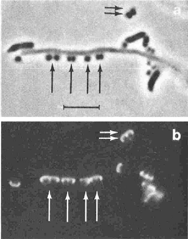 Fig. 4 Aggregation between Bacterumema matmcholo and strain CCSA resembling Streptococcus sunguis after mixed culture incubation for 4 h Hea~-fixed smear ot'a suspension in saline treated for indirect fluorescent-antibt~dy slaining wilh an antiserum spe cific for the polyglycerol phosphate backbone of teichoic acids. Phase-contrast illumination (a) reveals adhering (arrows) and free cocci (double arrows). Ultraviolet illumination of the same field (b) reveals a characteristic fluorescent cap on ttte cocci, resulting from the ~elective labeling of the polar tuff. Attached CC5A cells exhibit their fluorescent polar structure closest to the cell surface of the core filament. Bar: 5 ~tm.