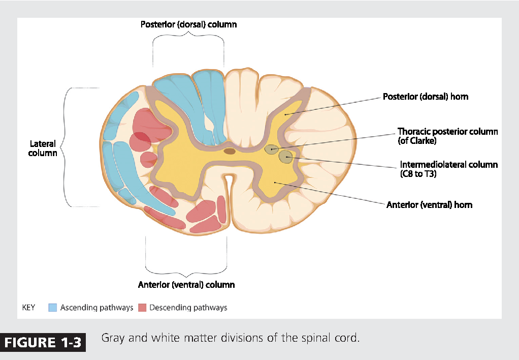 Figure 1-3 from Spinal cord functional anatomy. - Semantic Scholar