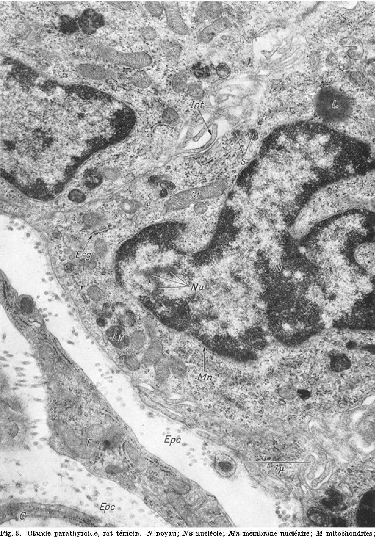 Figure 3 from Sur l'histophysiologie corrélative de la glande ...