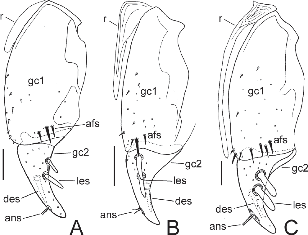 Figure 7 From New Mecyclothorax Spp Coleoptera Carabidae