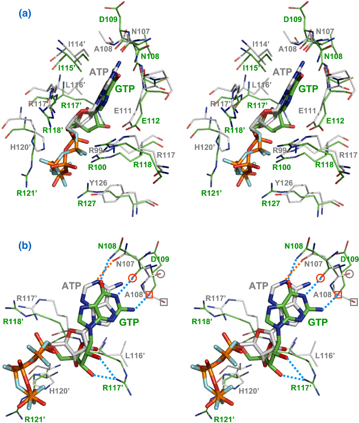 Fig. 5. Comparison between the X. campestris UMPK GTP-binding pocket and the B. anthracis UMPK ATP-binding pocket. (a) Stereo picture displayed from an orientation similar to that in Fig. 4a. The GTP and ATP molecules are shown in stick representation, while the surrounding residues are shown in line representation. Phosphate atoms are shown in orange; nitrogen atoms, in blue; oxygen atoms, in red; carbon atoms in the X. campestris UMPK, in green; and carbon atoms in the B. anthracis UMPK, in gray, except for the phosphate oxygen atoms of ATP, which are shown in cyan. (b) Stereo picture displayed 90° clockwise from (a) showing the distinct binding modes of GTP relative to ATP. H bonds between GTP and X. campestris UMPK are shown as a blue dotted line, while those between ATP and B. anthracis UMPK are shown as a red dotted line. The backbone oxygen atoms of Asn108 and Asp109 of X. campestris UMPK are encircled and boxed in red, while those of the cognate Asn107 and Ala108 residues of B. anthracisUMPK are encircled and boxed in gray.