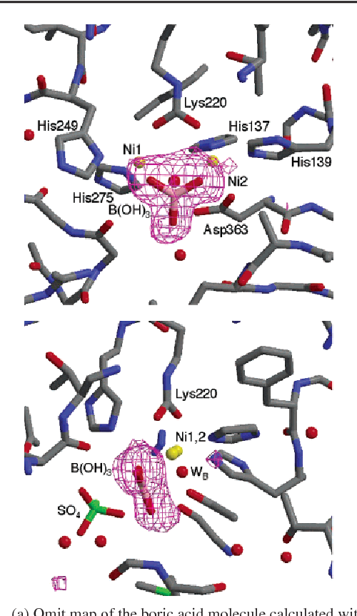 Molecular details of urease inhibition by boric acid: insights into