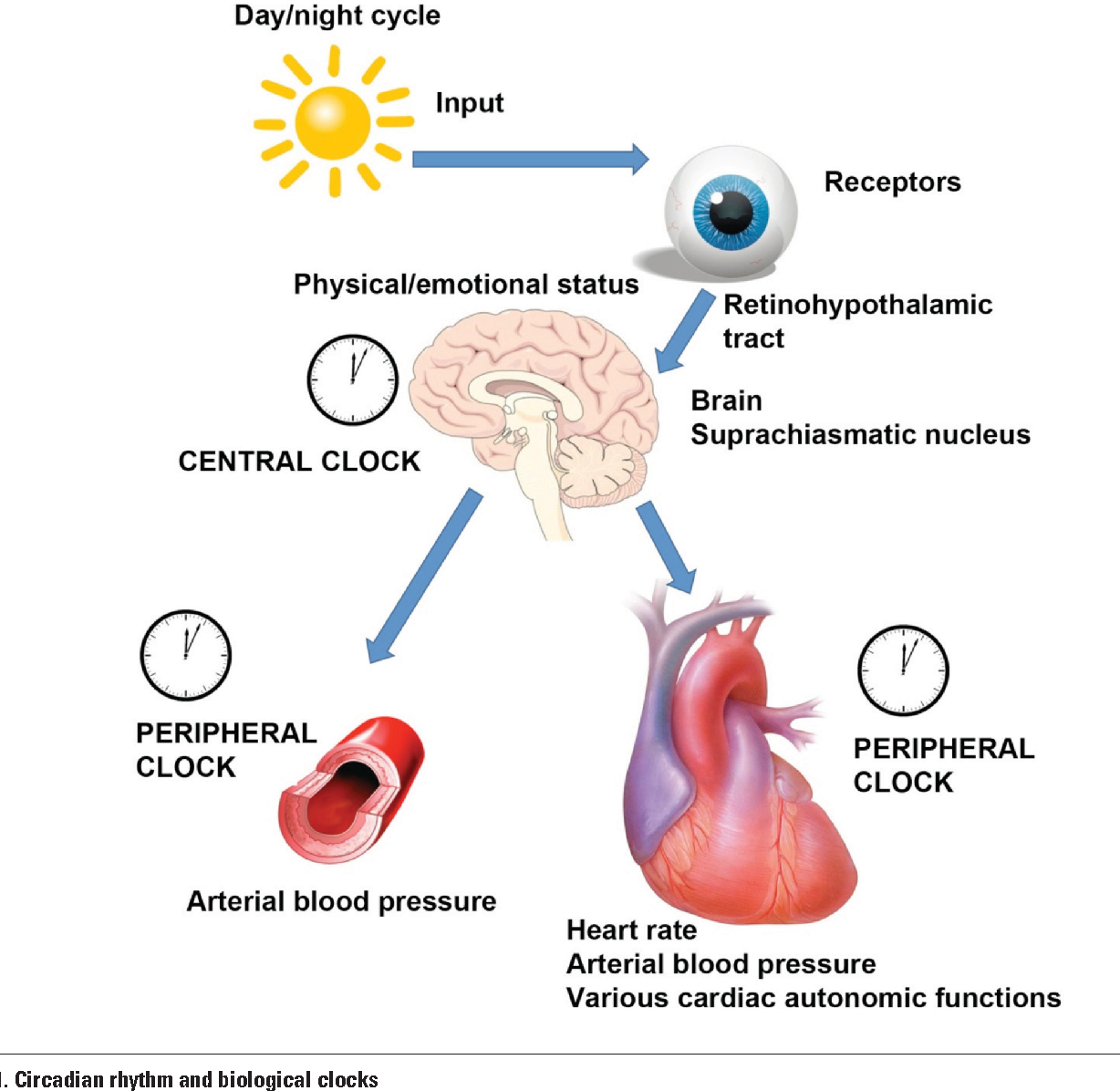 Circadian blood pressure pattern and cardiac autonomic functions ...