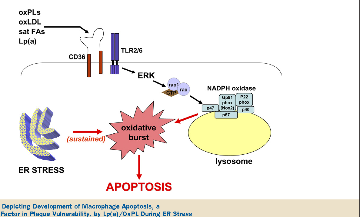 New Genetic Risk Factor For Developing >> Figure 1 From Lipoprotein A As A Potential Causal Genetic Risk