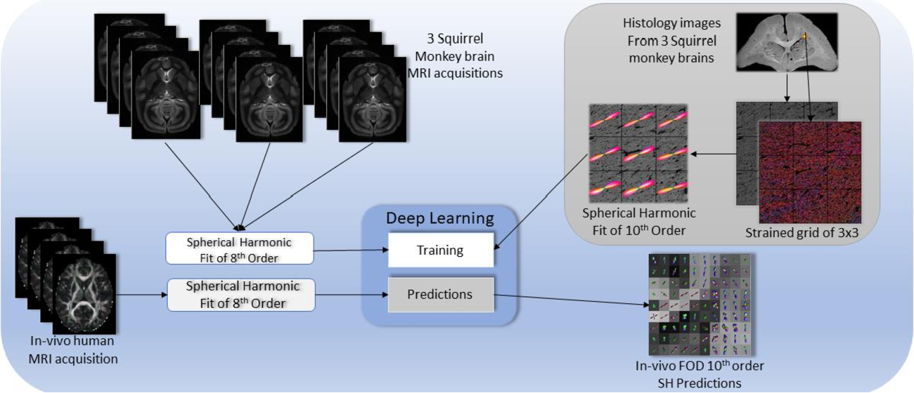 Figure 1 for Deep Learning Captures More Accurate Diffusion Fiber Orientations Distributions than Constrained Spherical Deconvolution