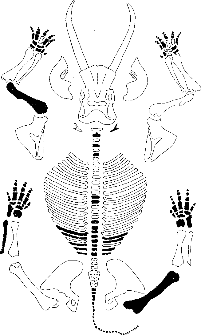 Fig. 5. Schematic elephant skeleton. Bones missing from the concentration of Figs. 2 and 3 are indicated in black; bones in outline are present.