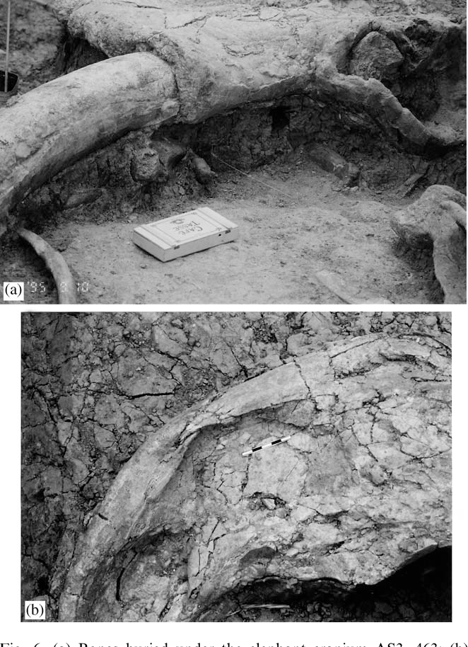 Fig. 6. (a) Bones buried under the elephant cranium AS3, 463; (b) depression fractures on elephant mandible 492.