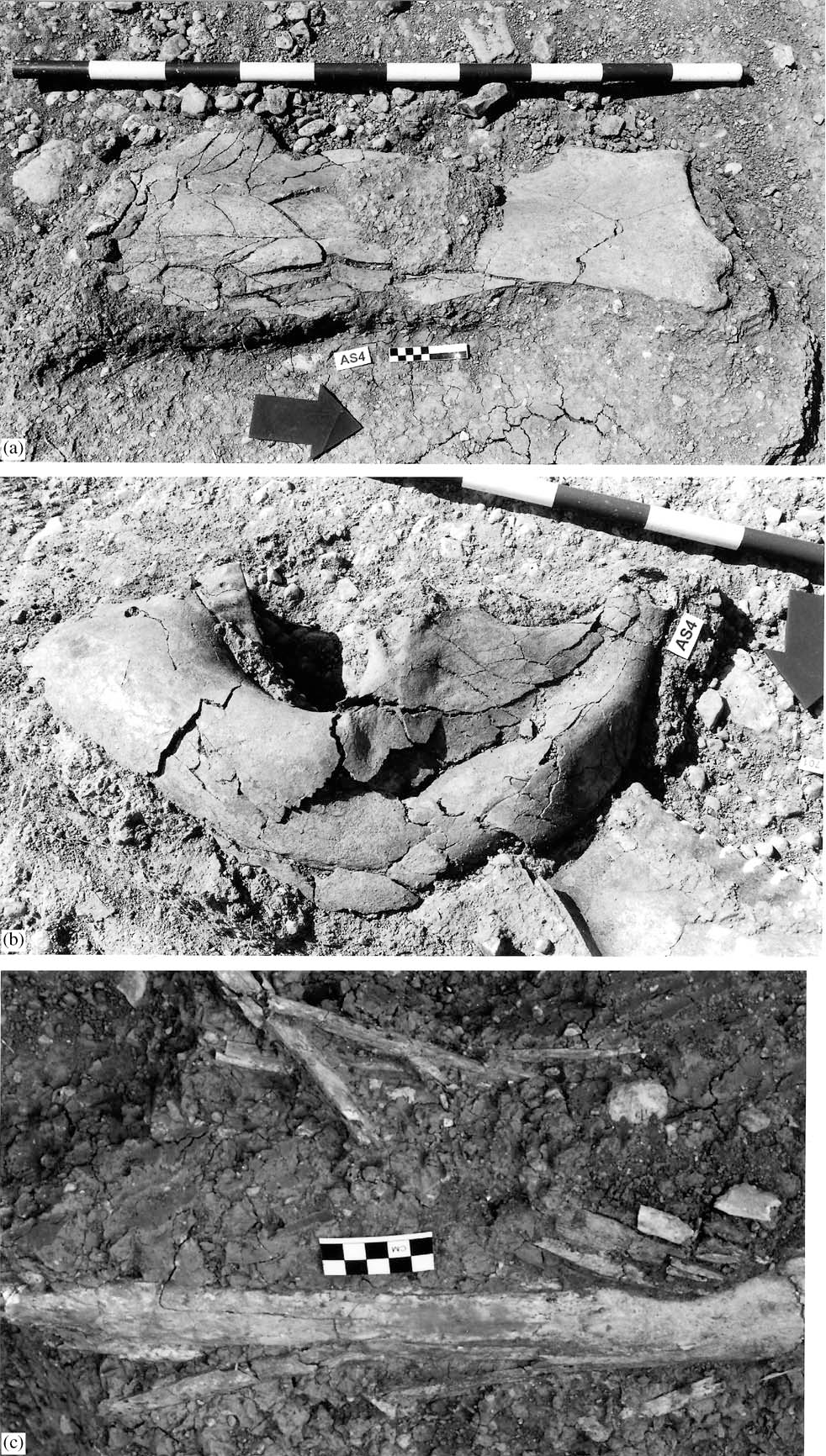Fig. 7. (a) and (b) Compression fractures on elephant scapula AS4, 685 and elephant mandible AS4, 679. (c) in situ weathering and fragmentation of tusk AS4, 1002.