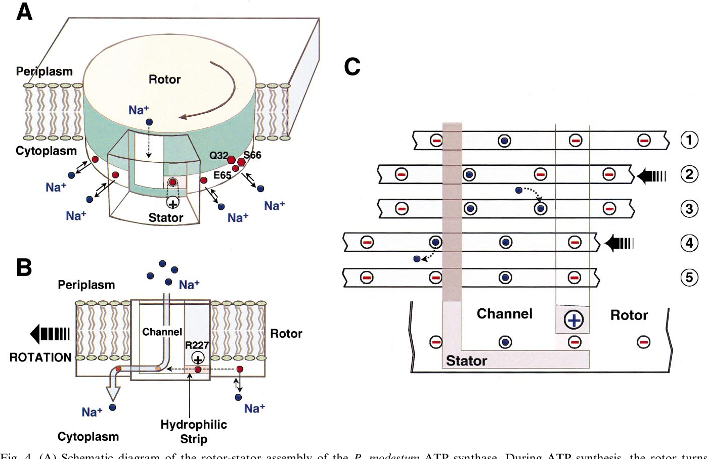 figure 4 from operation of the f motor of the atp synthase Motor Stator Winding Diagram a schematic diagram of the rotor stator assembly of