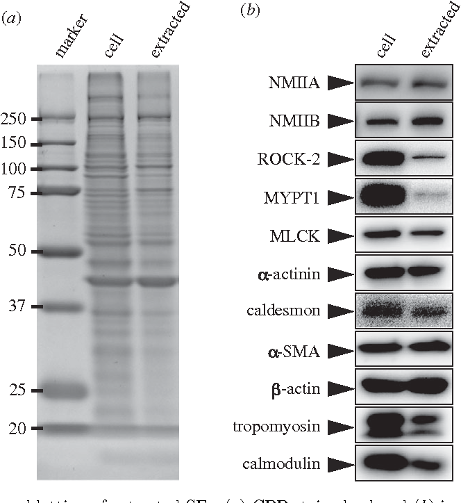 Figure 2. SDS–PAGE and immunoblotting of extracted SFs. (a) CBB-stained gel and (b) immunoblotting analyses of a crude extract from intact cells and an extracted SF preparation.
