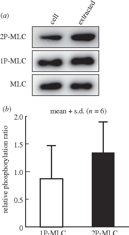 Figure 3. MLC of extracted SFs is not dephosphorylated. Extracted SFs were processed for immunoblotting to detect total, 1P- and 2P-MLC. The relative amounts of 1P- and 2P-MLC to total MLC are shown.