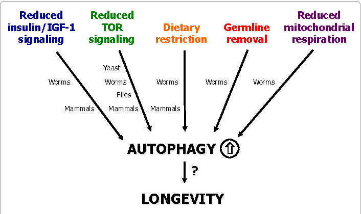 The Negative Side Effects of Autophagy - Siim Land