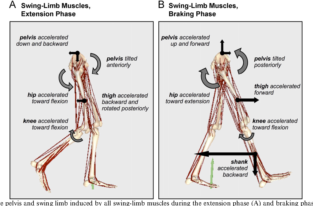 Muscular coordination of knee motion during the terminal-swing phase ...