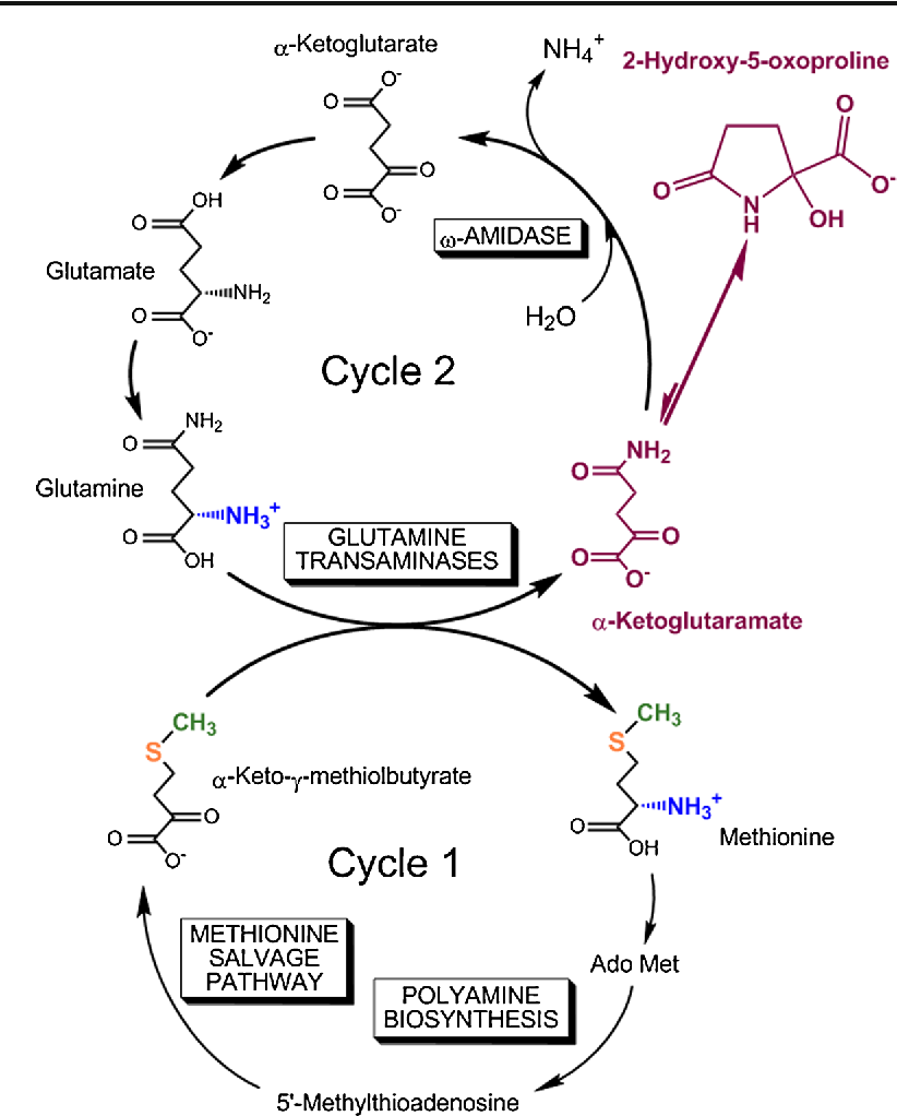 Figure 2 from α-Ketoglutaramate: an overlooked metabolite of