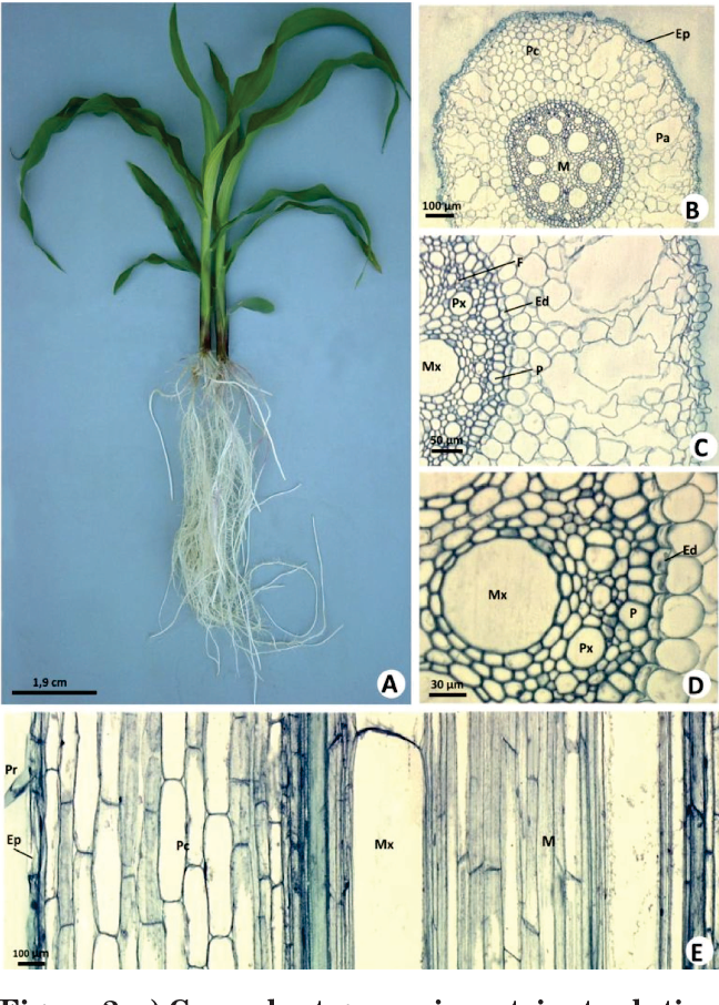 Aluminum in Corn Plants : Influence on Growth and Morpho-anatomy of ...