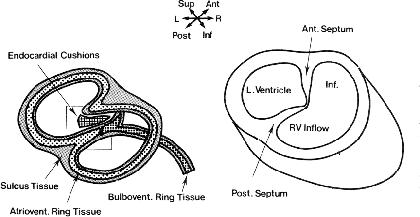 diagram illustrating how septation of the atrioventricular canal brings  anterior and posterior invaginations