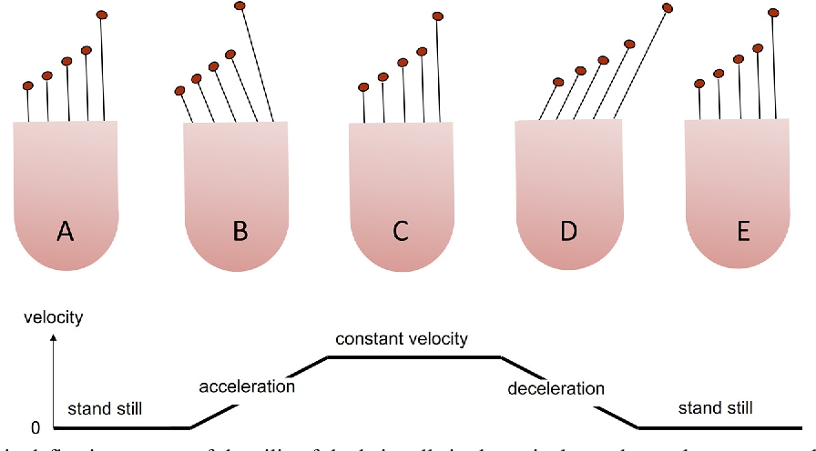 Anatomy, physiology, and physics of the peripheral vestibular system ...