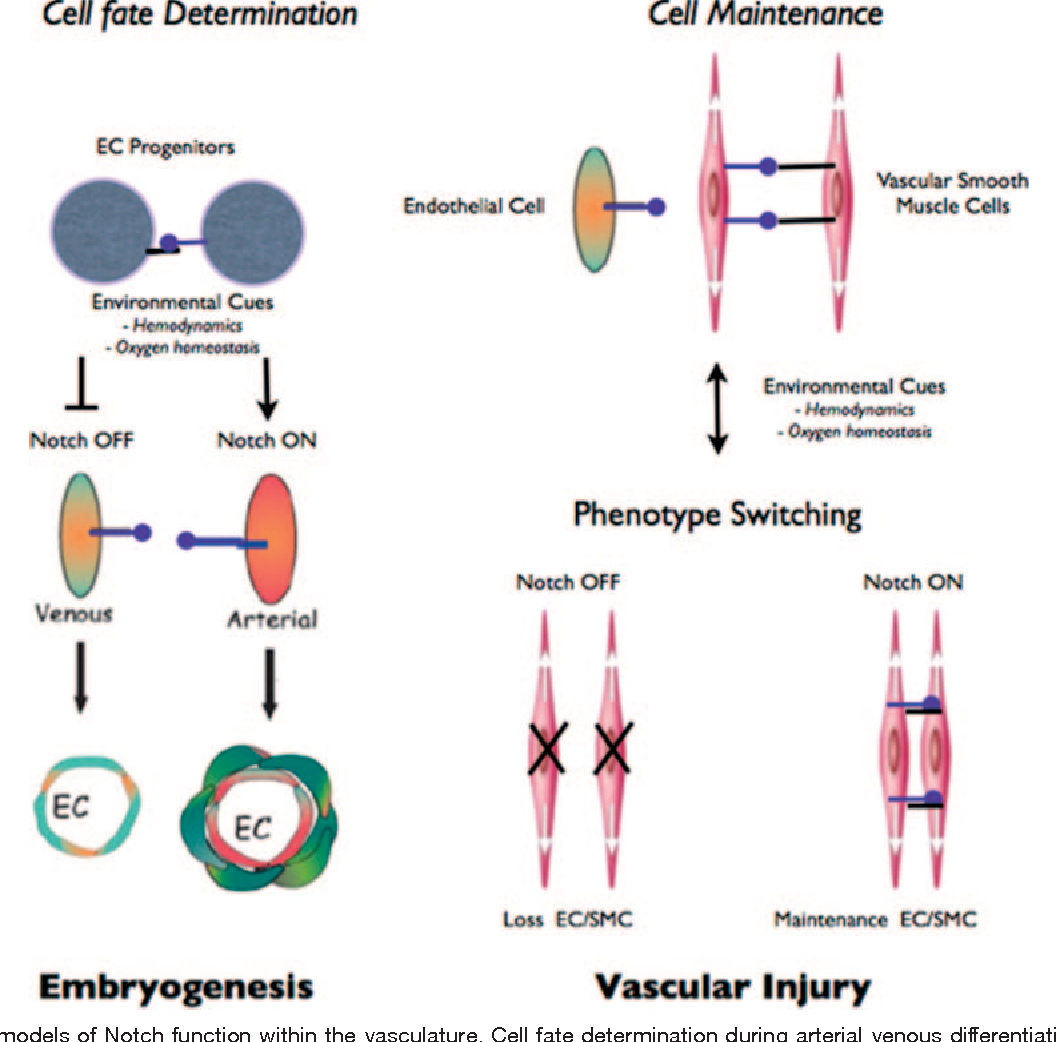 Figure 2 From Notch And Vascular Smooth Muscle Cell Phenotype