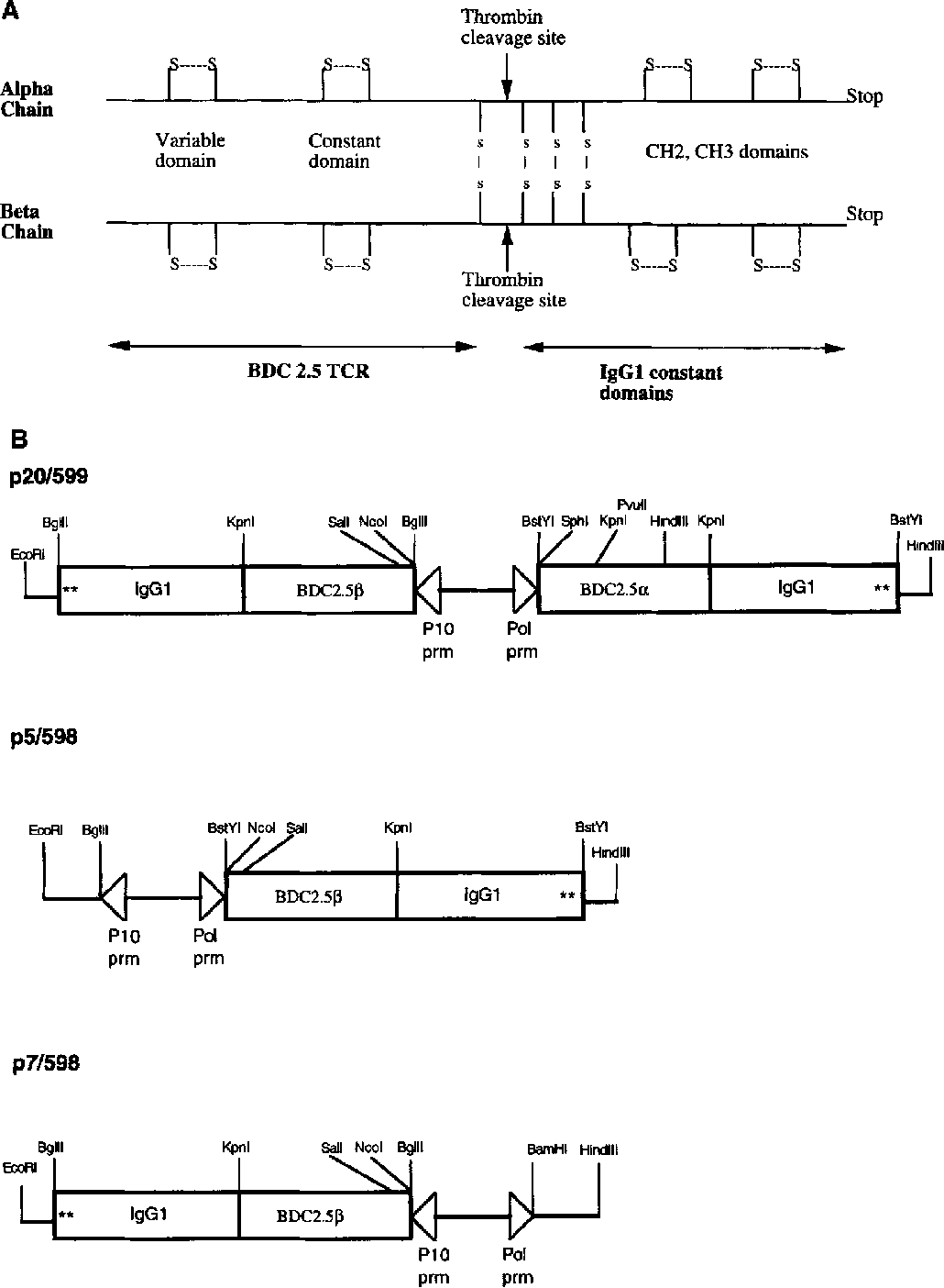 Figure 1 from immunization with soluble bdc 25 t cell receptor figure 1 ccuart