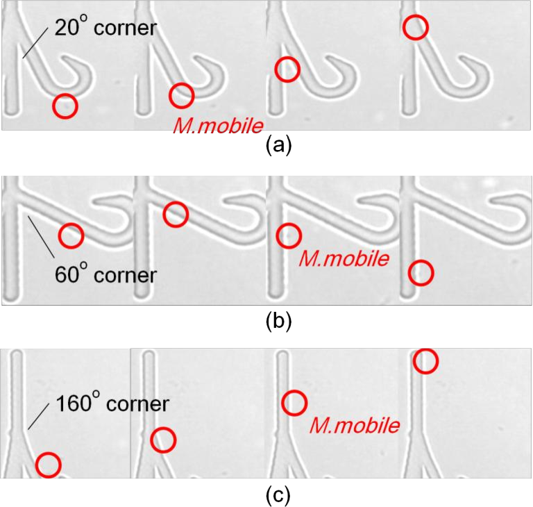 Figure 3. Sequential images of M. mobiles walking along walls with different corner angles. (a) 20 o corner (b)60 o corner (c) 160 o corner.
