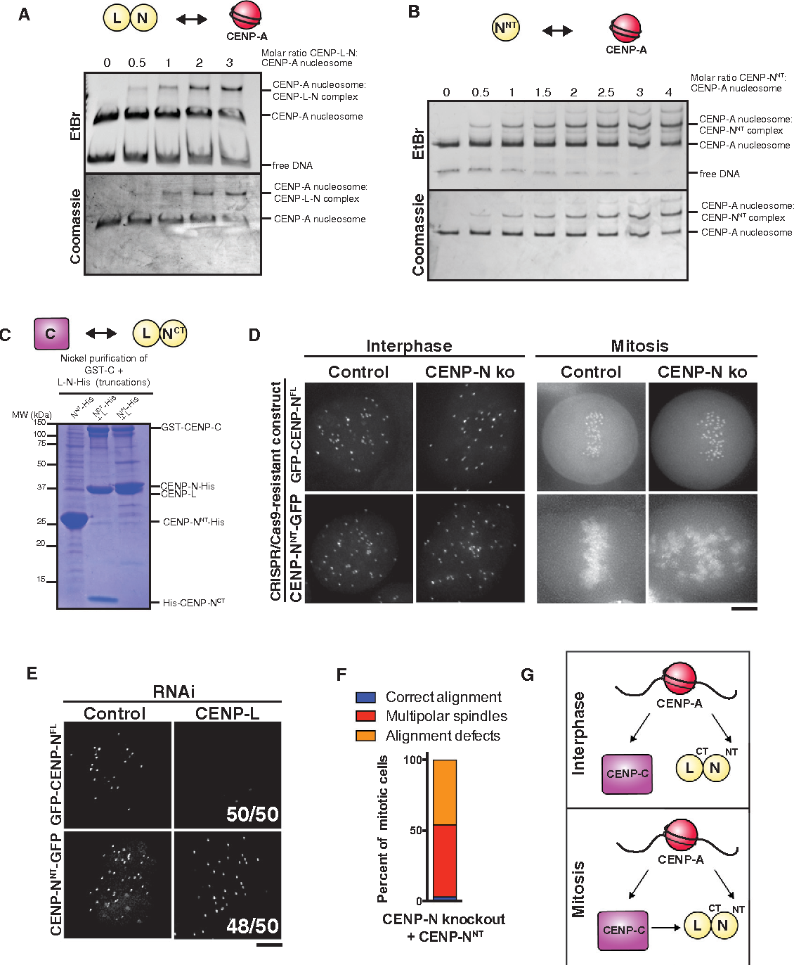 Figure 6. Interactions with CENP-A Nucleosomes and CENP-C Contribute Differentially to CENP-N Recruitment in Interphase and Mitosis