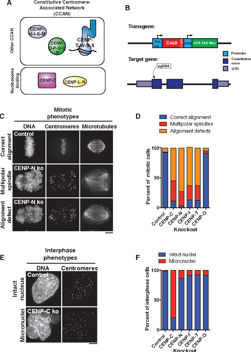 Figure 1. Inducible CRISPR Knockouts Define the Contributions of the CCAN to Chromosome Segregation