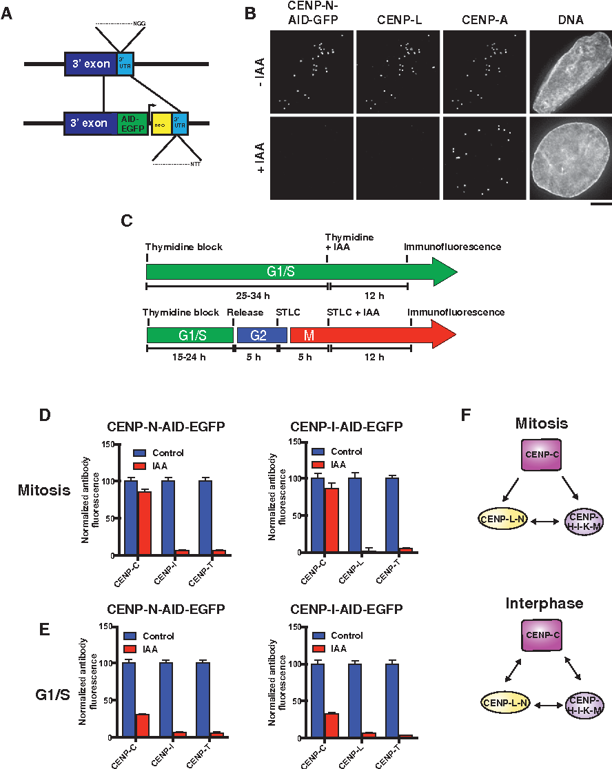 Figure 4. Interphase Stabilization of CENP-C by the CENP-L-N and CENP-H-I-K-M Complexes Revealed by Inducible Degron Analysis
