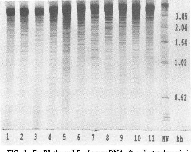 FIG. 1. EcoRI-cleaved E. cloacae DNA after electrophoresis in a 6% polyacrylamide gel and silver staining. Lane 1, epidemic strain from the NICU; lanes 2 to 11, unrelated strains from 10 different hospitals; lane MW, size standard (1-kb ladder mixed with pBR322 DNA MspI digest).
