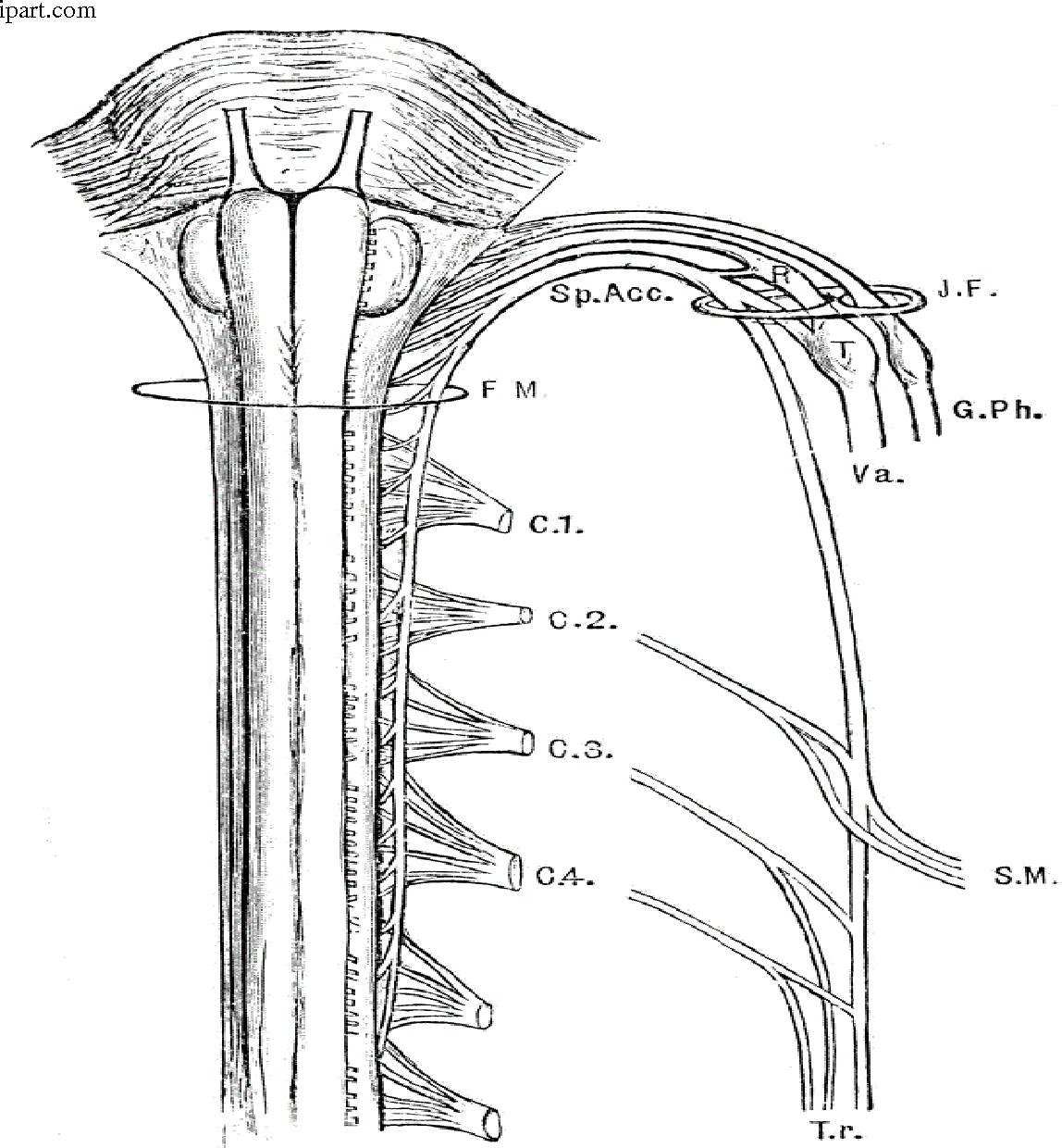 The Spinal Accessory Nerve Anatomy and its role in neck dissections ...