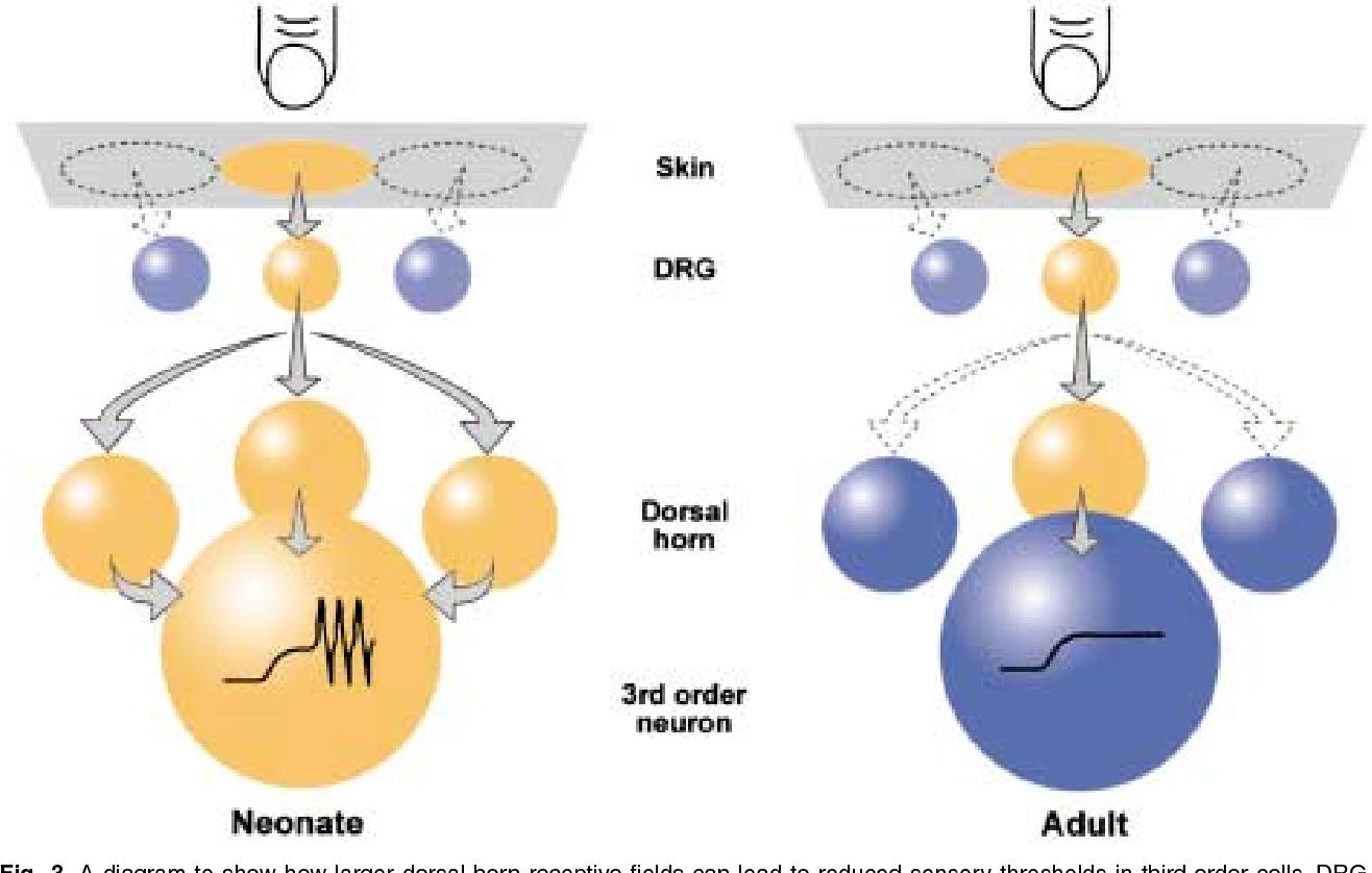 The neurobiology of pain: developmental aspects  - Semantic